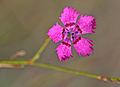 Dianthus zonatus - Rock-carnation - Kaya karanfili 1.JPG