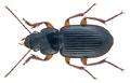 Dichaetochilus vagans (Dejean, 1831) (26321335505).png