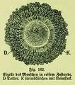 Die Frau als Hausärztin (1911) 162 Eizelle des Menschen in reifem Zustande.png