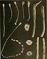 Die gestielten crinoiden der Siboga-expedition (1907) (20303446744).jpg