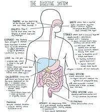 Digestive System Diagram.jpg