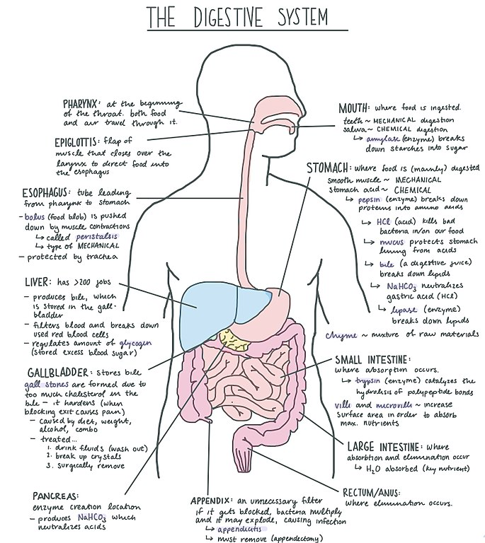 Digestive System Diagram L - Wiring Library •