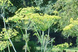 kapor növényfaj wikipédia