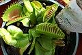 Dionaea muscipula 15zz.jpg