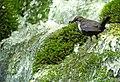 Dipper (Cinclus cinclus), Bigar Waterfall, Caras-Severin, Romania (34603130813).jpg