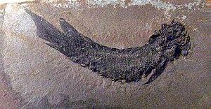 Dipterus - Dipterus valenciennesi