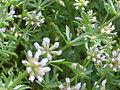 Dorycnium pentaphyllum Enfoque Valderepisa 2012-05-31 SierraMadrona.jpg