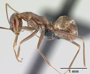 Dorymyrmex goeldii Arbeiterin