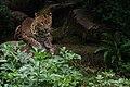 Doué 21 06 2010 10 Panthera pardus kotiya 2.jpg
