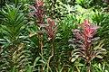 Dracaena deremensis 5zz.jpg