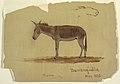 Drawing, A Donkey, Baranquilla, Columbia, May 1853 (CH 18201341).jpg