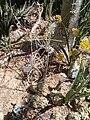 Drimia altissima KirstenboschBotGard09292010G.JPG