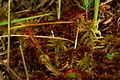 Drosera rotundifolia r4.JPG