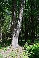 Dubechne Starovyzhivskyi Volynska-Dubechnivskyi park architecture monument-Acer saccharinum.jpg