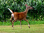 EASTERN WHITETAIL DEER - A DOE WITH TAIL UP, THE WHITE FLAG OF ALARM.jpg