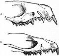 EB1911 Insectivora — Fig. 7.—Fore-part of Skulls of Common Hedgehog (Erinaceus europaeus).jpg