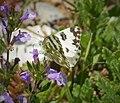 Eastern Bath White . Pontia edusa (43153294980).jpg