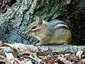 Eastern Chipmunk - Flickr - treegrow.jpg