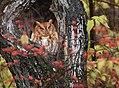 Eastern Screech Owl (30621633184).jpg