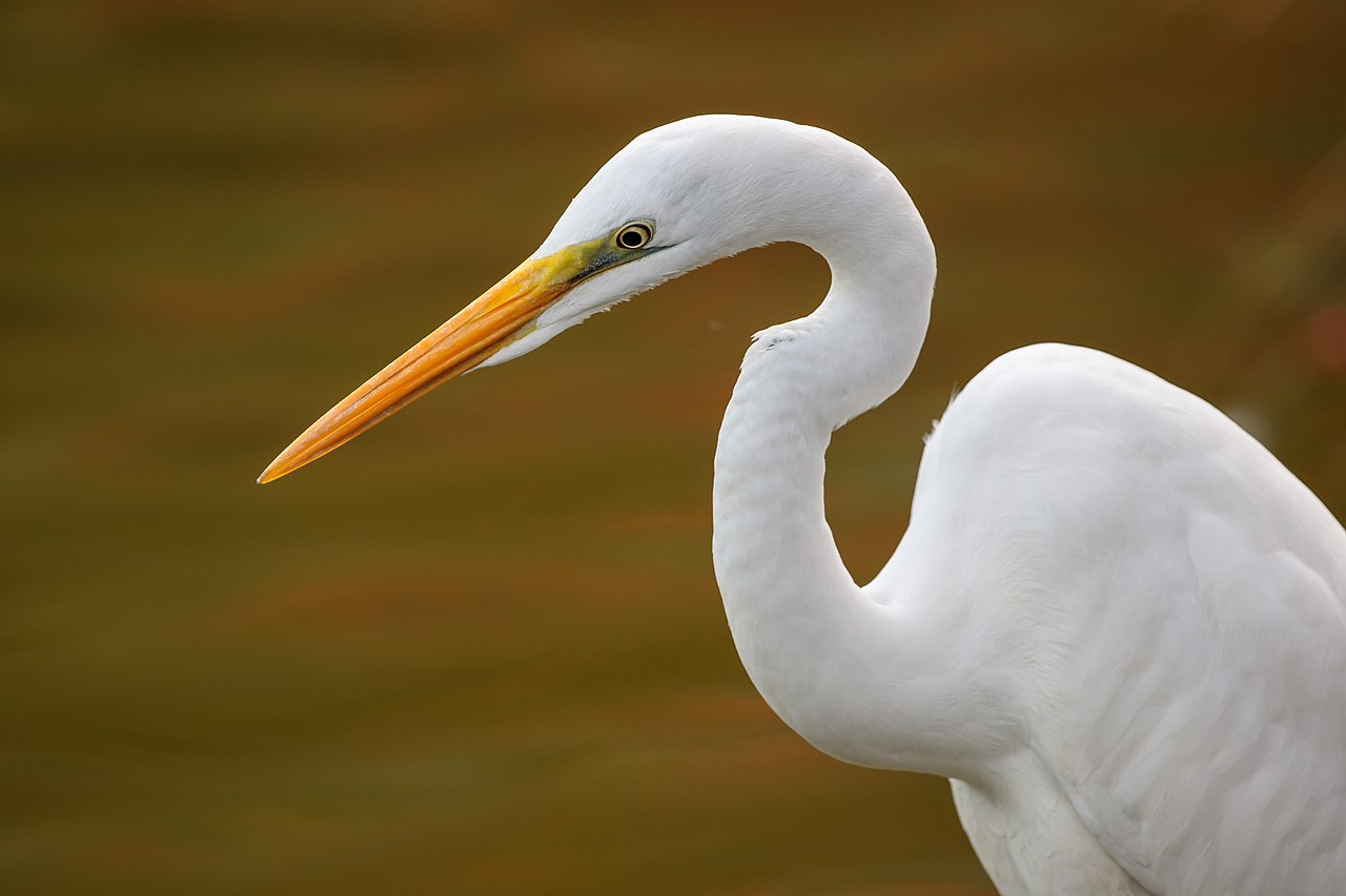 Eastern Great Egret Close The Head Area
