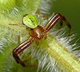 Bežník listový (Ebrechtella tricuspidata) - samček