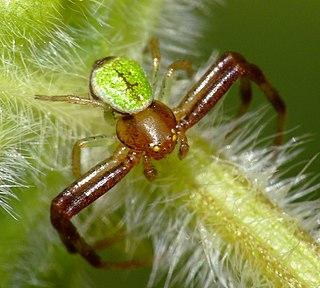 <i>Ebrechtella tricuspidata</i> species of arachnid