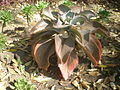 Echeveria gibbiflora 5c.JPG