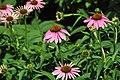 Echinacea purpurea (purple coneflowers) 3 (38566472155).jpg