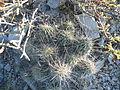 Echinocereus stramineus (5707315803).jpg