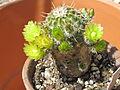 Echinocereus virdiflorus 2.JPG