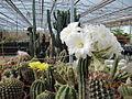 Echinopsis (3742904137).jpg