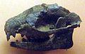 Ectocion Ralstonensis.jpg