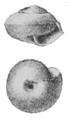 Edentulina moreleti shell 3.png