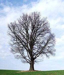 Oak. The picture shows the tree before the start of the growing season. It is a twelve segment panoramic image.