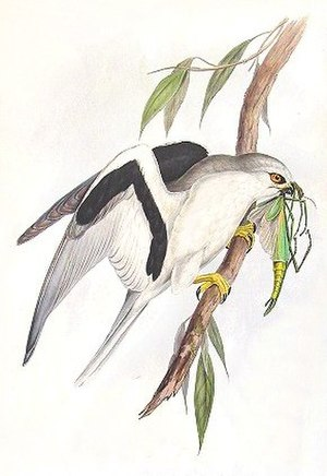 Letter-winged kite - Image: Elanus scriptus