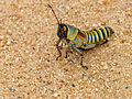 Elegant Grasshopper (Zonocerus elegans) (12716747274).jpg