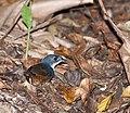 Eleoscytalopus indigoticus -Vale do Ribeira, Registro, Sao Paulo, Brasil-8.jpg