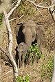 Elephant Female and Calf Mudumalai Mar21 DSC01384.jpg