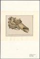 Elephas primigenius - schedel - 1788-1863 - Print - Iconographia Zoologica - Special Collections University of Amsterdam - UBA01 IZA1000538.tif