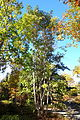 Emmenopterys henryi - Quarryhill Botanical Garden - DSC03338.JPG