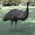 Emu Side.JPG