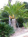 Encephalartos natalensis x woodii Female.jpg