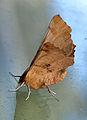 Ennomos autumnaria, Iepentakvlinder (1).jpg