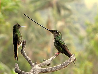 Sword-billed hummingbird - female sword-billed hummingbird (right) with a buff-tailed coronet