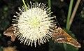 Epargyreus clarus (silver-spotted skipper butterflies) (Newark, Ohio, USA) 3 (43296826732).jpg