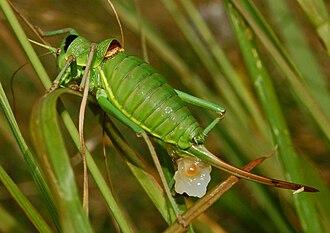 Bradyporinae - Ephippiger perforatus female with spermatophore