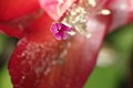 Epiphyllum truncatum 3.jpg
