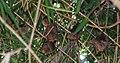 Epomophorus gambianus.jpg