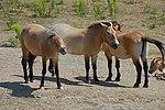 Equus caballus przewalskii.JPG