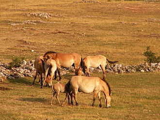 Przewalski's horse - Przewalski's horses.